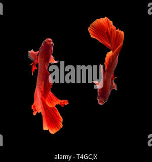 Red color Siamese fighting fish(Rosetail), fighting fish, Betta splendens, on black background with clipping path - Stock Photo
