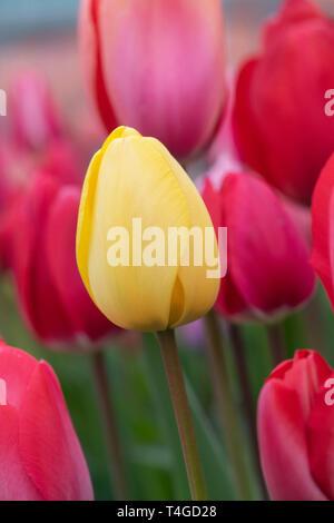 Tulipa. Yellow Tulip flower in spring - Stock Photo