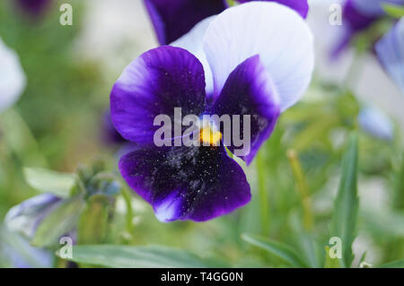 Violet flower with blue, white, lilac and purple delicate petals on a branch with green leaves - Stock Photo