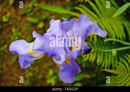 Iris flower with blue and purple delicate petals on a branch with green leaves - Stock Photo