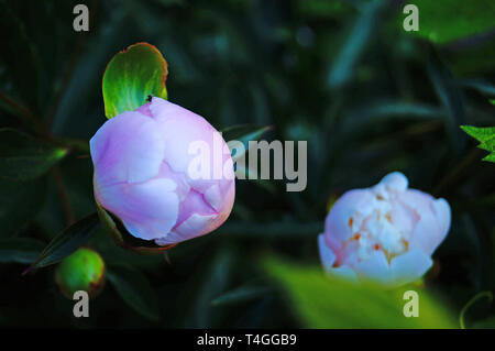 Peony flower with white, pink and pastel petals and a yellow center on a bush with green leaves - Stock Photo