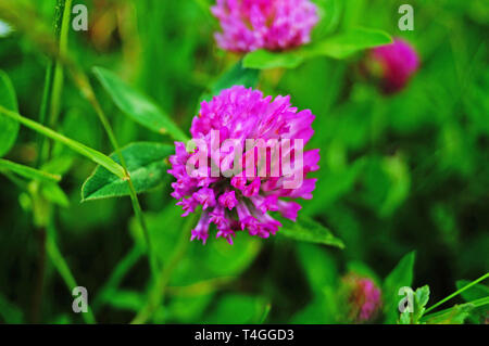 Clover flower with pink petals on a stem in a clearing with green grass - Stock Photo