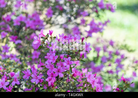 Close up of Rhododendron Hinomayo - pink Azalea flowering in an English garden - Stock Photo