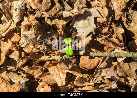 green sprout makes its way through last year's foliage - Stock Photo