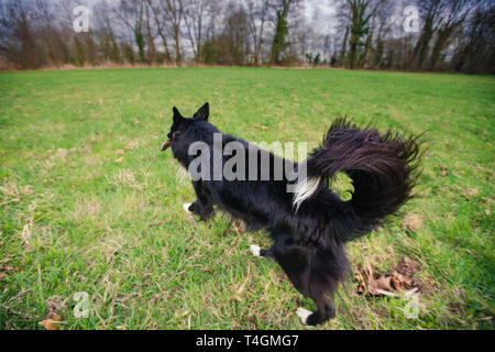 A purebred Border Collie dog without leash  running outdoors in the nature on a sunny day. Dog play and running in city park. - Stock Photo