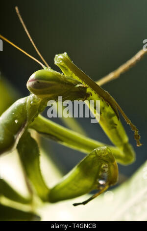 Mantodea, Mantis green insect are siting on leaf - Stock Photo