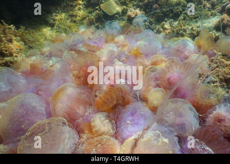 A pile of numerous jellyfish dying on the seabed (natural cause), mauve stinger Pelagia noctiluca, Mediterranean sea, Spain - Stock Photo
