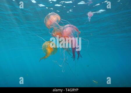 Several jellyfish underwater in Mediterranean sea, mauve stinger Pelagia noctiluca, Spain