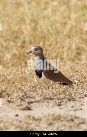 A single adult Black-winged lapwing standing in dry open grassland, portrait format, Ol Pejeta Conservancy, Laikipia, Kenya, Africa - Stock Photo
