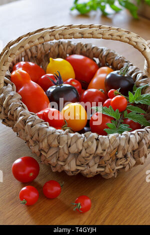 A colorful selection of old tomato varieties in a basket, biological diversity concept - Stock Photo