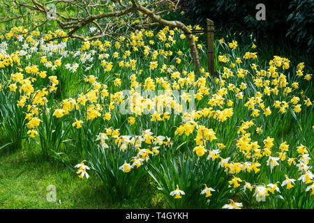Daffodils in garden at Belsay Hall, an early 19th Century mansion house, in Northumberland, England, UK - Stock Photo