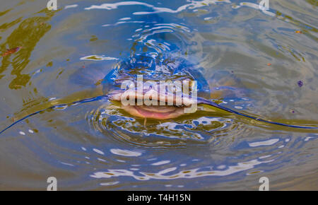A catfish with open mouth, breaking above water. - Stock Photo