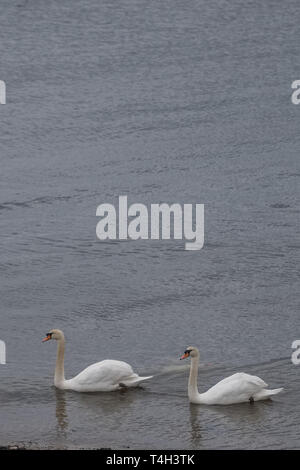 Two Beautiful White Swans at the side of a Irvine Harbour Scotland - Stock Photo