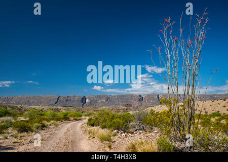 Blooming ocotillo, River Road, Sierra Ponce mesa in Mexico in distance, Chihuahuan Desert borderland, Big Bend National Park, Texas, USA