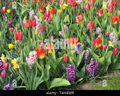 Floral carpet of mixed Spring planting: tulips, hyacinths, daffodils - one of the colourful displays at Keukenhof, mid April 2019 - Stock Photo