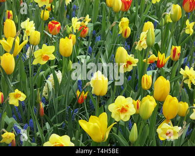 A mass of spring bulbs at the Keukenhof flower festival: yellow tulips and daffodils underplanted with blue muscari; April 2019 - Stock Photo
