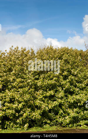 LAUREL HEDGE PRUNUS LAUROCERASUS SCOTLAND IN SPRING WITH FLOWERS UNDER A BLUE SKY - Stock Photo