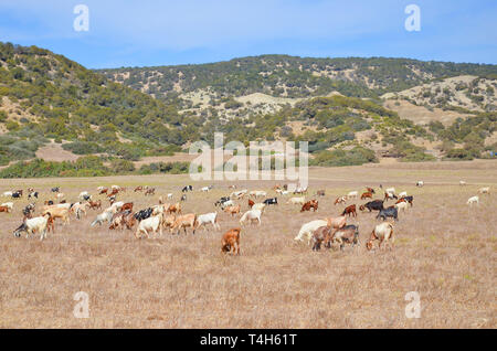 Beautiful dry landscape of Turkish Northern Cyprus taken with a herd of glazing goats on a field. In background there are small hills with green trees - Stock Photo