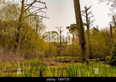 Colour landscape photograph of old conifer woodland habitat which has been succeeded by a young wetland habitat due to changes in local hydrology. Tak - Stock Photo
