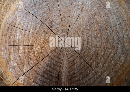 Wooden texture as background with round cut down tree and annual rings. - Stock Photo