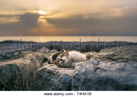A feral cat stretches its paw while resting on rocks at the sea. Sunset sky shines orange behind. - Stock Photo