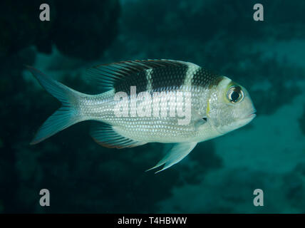 Humpnose big-eye Bream, Monotaxis grandoculis, on coral reef in Red Sea, Hamata, Egypt - Stock Photo