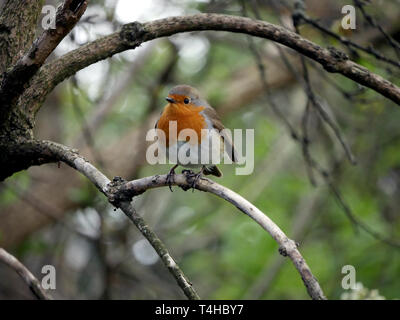 Robin redbreast - Erithacus Rubecula perched on a branch - Stock Photo