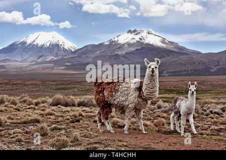 A bably llama and it's mother look into the lens with a mountain in the background on the Bolivian Altiplano - Stock Photo