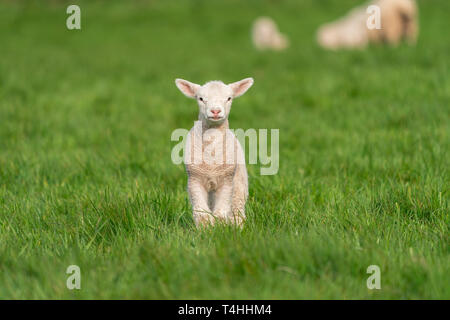 Portrait of a baby lamb in a field of green grass in Spring. - Stock Photo