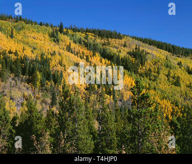 USA, Colorado, Rocky Mountain National Park, Fall colored aspen mix with conifers near Hidden Valley. - Stock Photo