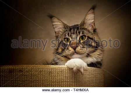silver tabby cat inside pet bed - Stock Photo