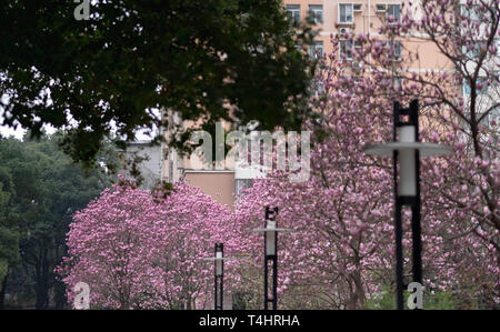 Pink magnolia flower on the spring time, Used for the background and decorate. Especially focus on this photo.  At the China University of geoscience, - Stock Photo