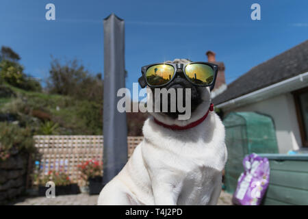 Mousehole, Cornwall, UK. 17th April 2019. UK Weather. Titan the pug out enjoying the sunshine ahead of the Easter bank holiday. Credit: Simon Maycock/Alamy Live News - Stock Photo
