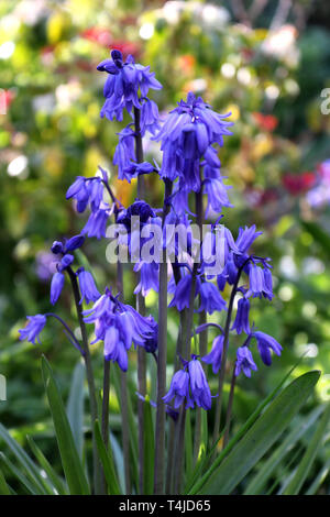 Spanish Bluebell or Hyacinthoides hispanica in a garden - Stock Photo