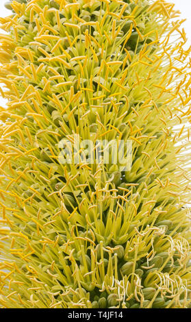 Agave Plant Flowers Closeup - Stock Photo