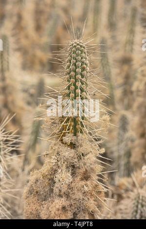 Arborescent cactus (Eulychnia acida) growing on Isla Damas, Humboldt Penguin Reserve, Punta Choros, Chile - Stock Photo