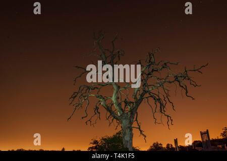 Dead oak tree long exposure showing light pollution from London. Taken in Cobham, Surrey, UK. - Stock Photo