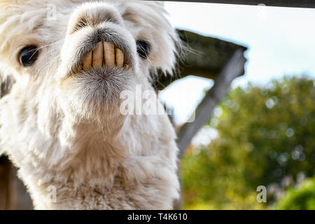 Adorable smiling funny looking white lama with big front teeth looking around inside a small ranch head shoot - Stock Photo