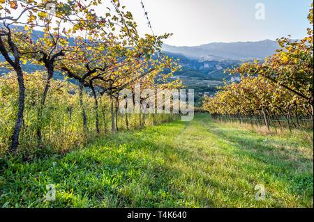 Italian vineyard in the sun. Garda Lake wine. Grappa vines. Italy - Stock Photo