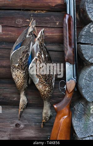 hunting trophy - two shot ducks hanging on the wooden wall and shotgun - Stock Photo