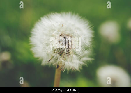 Close up of a Dandelion (Taraxacum officinale) with soft green background - Stock Photo