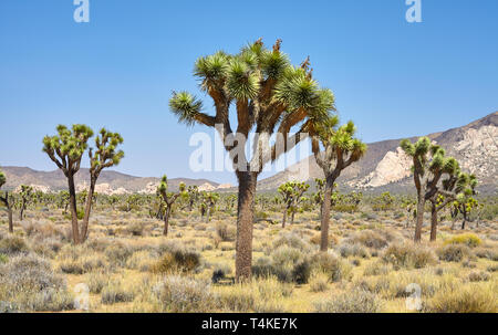 Joshua Trees (Yucca brevifolia) in the Joshua Tree National Park, California, USA. - Stock Photo