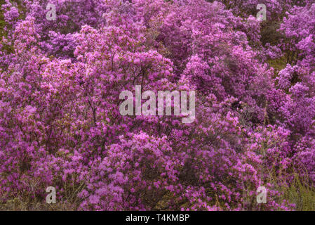 Beautiful thickets of shrubs with bright spring purple flowers of rhododendron Ledebour on the slope of the mountain - Stock Photo