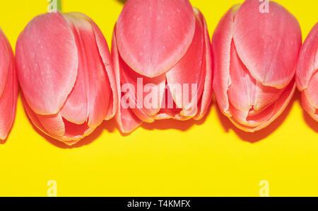 Beautiful five pink tulip flowers isolated on yellow background. Studio shot - Stock Photo