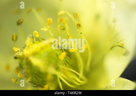 Photographing inside a microscopic flower 4 mm. Pistil and stamens with pollen - Stock Photo