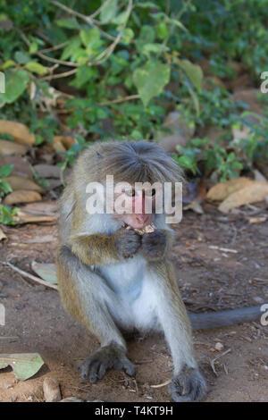 Toque macaque. Macaca sinica. Single adult feeding on picnic leftovers. Sri Lanka. - Stock Photo