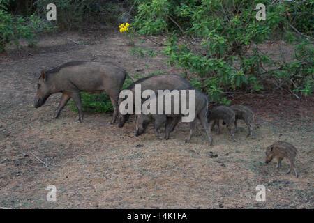 Indian Boar. Sus scrofa cristatus. Adults with young. Sri Lanka - Stock Photo