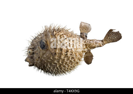 big hedgehog fish isolated on white background - Stock Photo