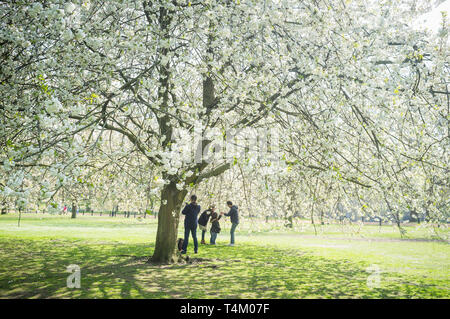Tourists take photographs amongst the cherry blossom in Hyde Park, London - Stock Photo