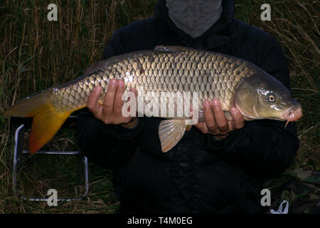 Carp isolated on white background in the wild . - Stock Photo